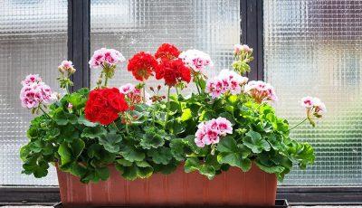 Выращивание герани из семян – увлекательное и интригующее занятие!