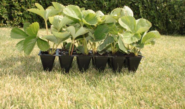Посадка и выращивание клубники в открытом грунте от А до Я