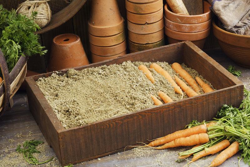Когда убирать морковь и свеклу с грядки на хранение