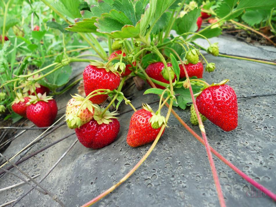 Как избавиться от пырея на участке и в огороде – действуем эффективно