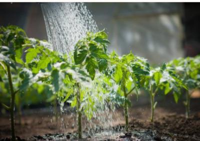 Фитофтора на помидорах – как вылечить овощи?