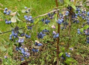Голубика садовая – посадка, уход и размножение на приусадебном участке