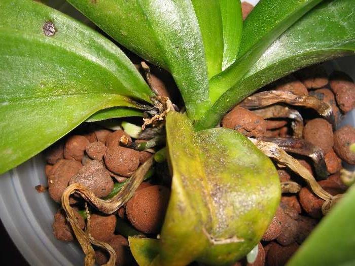 Скорая помощь для орхидеи – реанимация после гниения корней