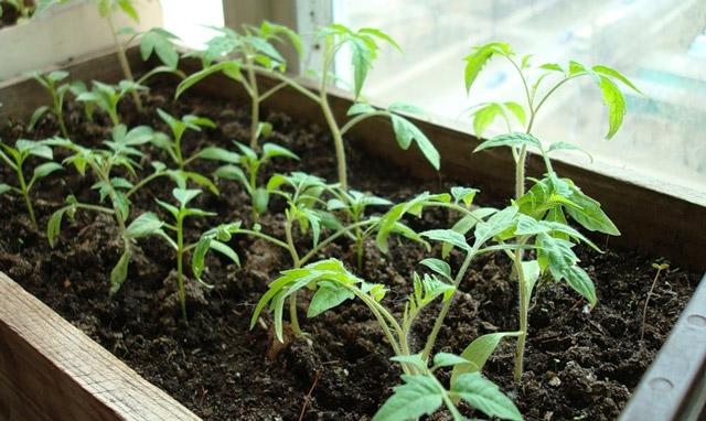Пикировка рассады помидор - пересаживаем и удобряем томаты правильно