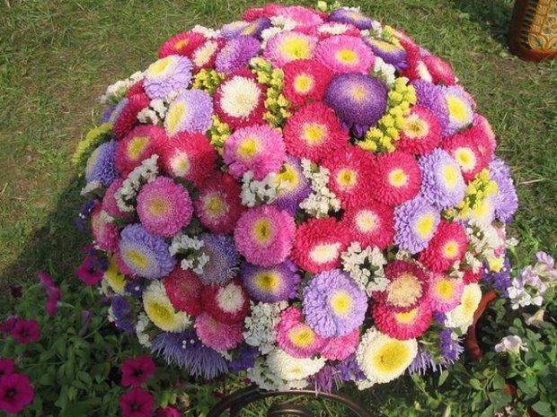 Посев астры из семян - выращивание и уход в домашних условиях