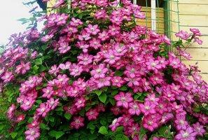 Размножение клематиса весной и осенью – секреты правильной посадки