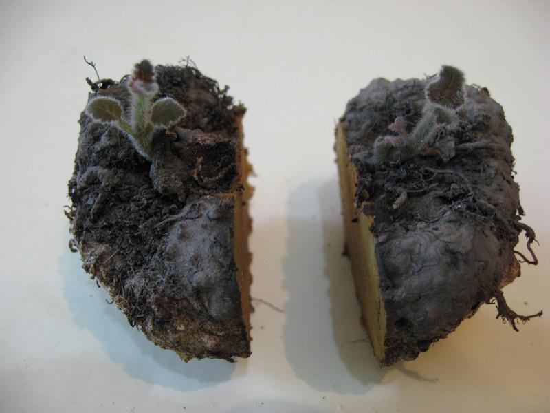 Выращивание бегонии – размножение семенами и другими способами