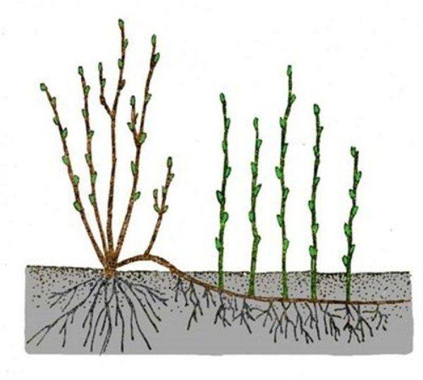 Сажаем калину красную – советы садоводов по выращиванию, размножению и уходу