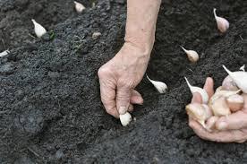 Выращивание озимого чеснока в открытом грунте – от посадки до сбора урожая