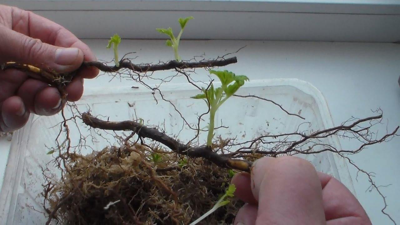 Знакомимся с особенностями ремонтантной малины - схема посадки, принципы размножения и осеннего ухода