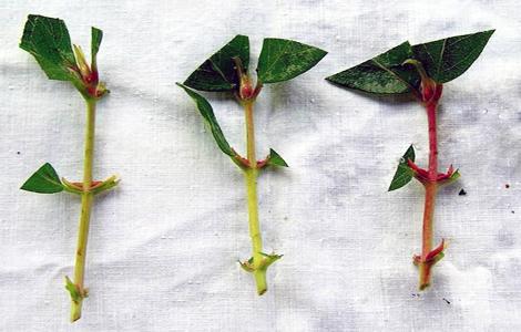 Съедобная жимолость – как правильно сажать, пересаживать, размножать