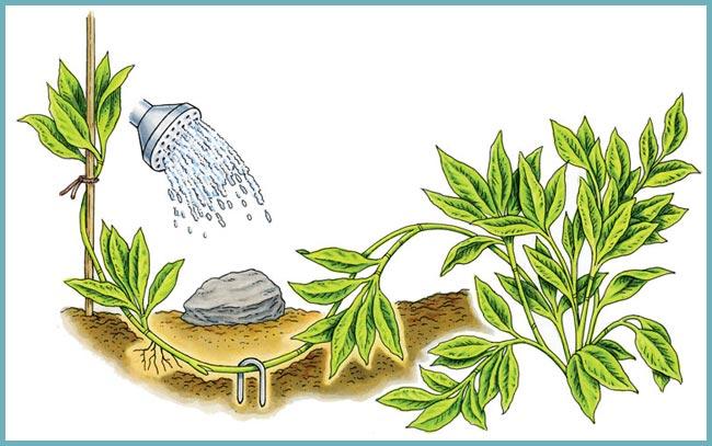 Азалия – как вырастить и размножить у себя дома?