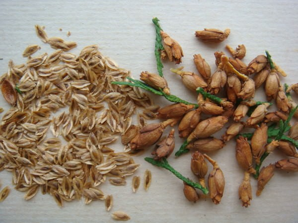 Выращивание и размножение туи в открытом грунте и в домашних условиях