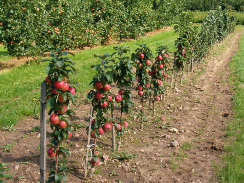 Как обрезать колоновидную яблоню весной