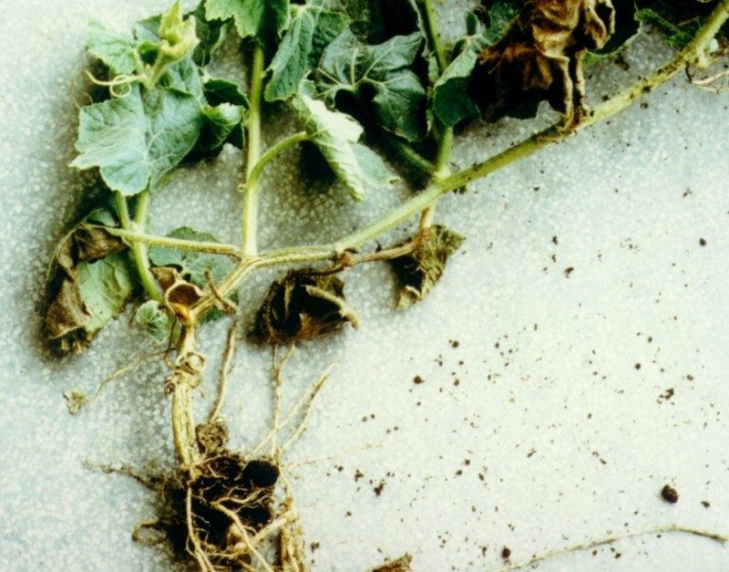 Желтеют завязи огурцов в теплице и открытом грунте: что делать, чем лечить