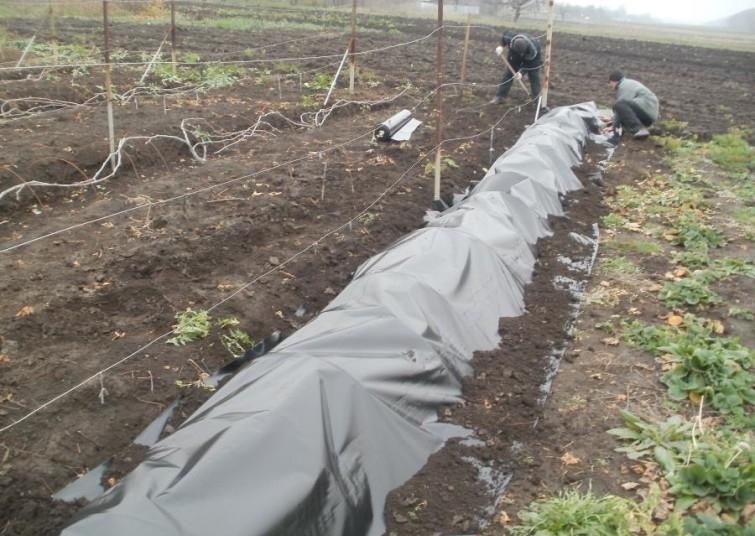 Укрытие винограда на зиму - обязательная часть ухода за виноградом зимой различными способами
