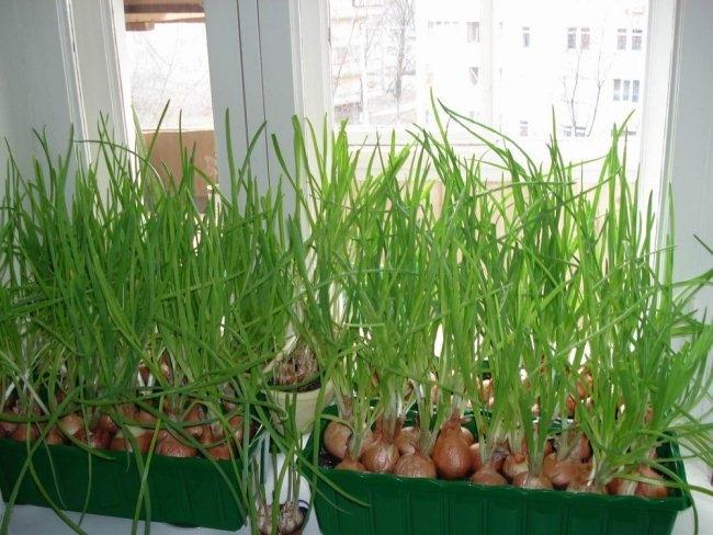 Как посадить лук на зелень на подоконнике