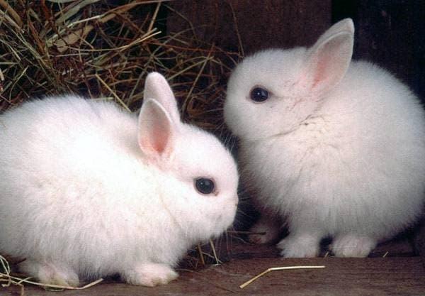 Как ухаживать за декоративным кроликом в домашних условиях: содержание и разведение в квартире (фото и видео)