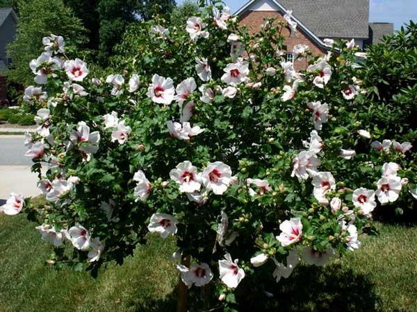 Гибискус садовый сирийский – выращивание: посадка и уход
