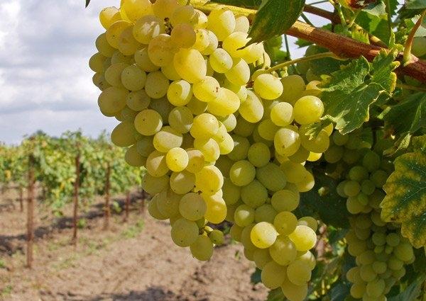 Основные правила поливки винограда