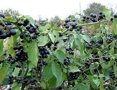 Растение черника форте