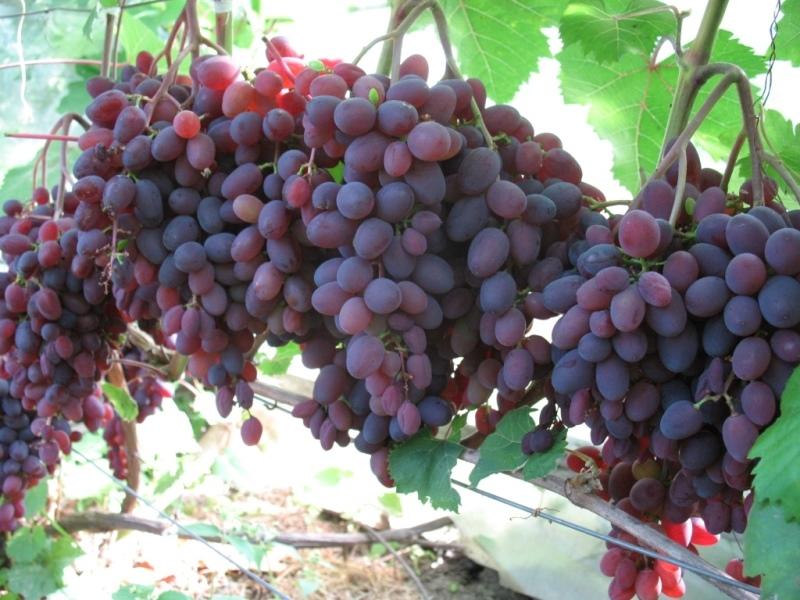 Лучшие сорта винограда без косточек кишмиш: описание, свойства