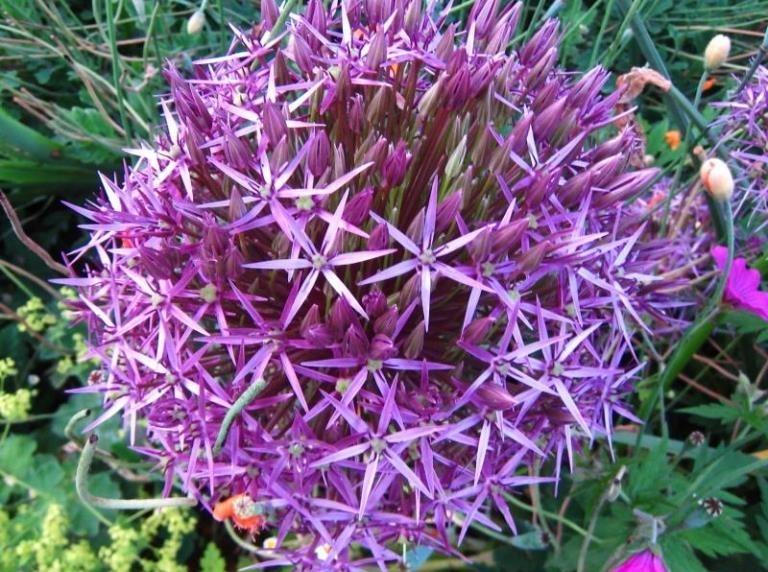 Посадка декоративного лука осенью в грунт