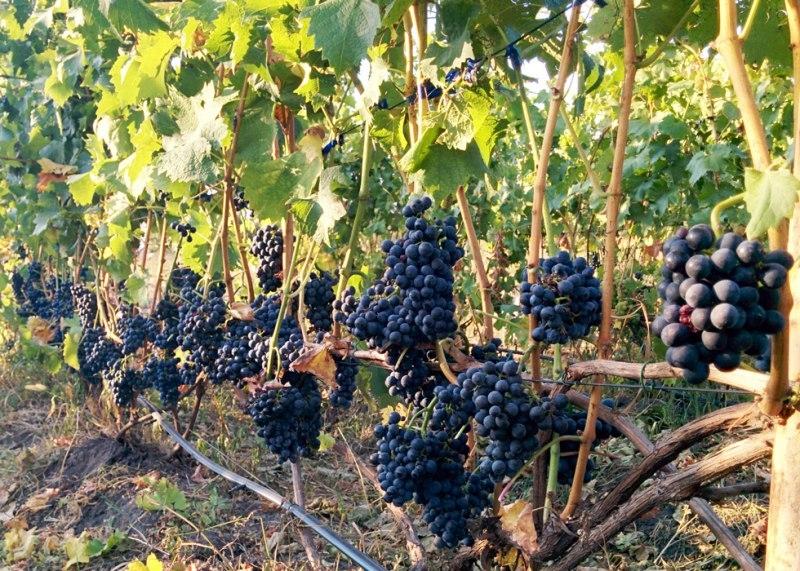 Виноград под названием каберне кортис описание