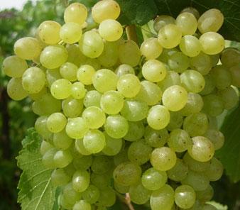 Топ-30 лучших ранних сортов винограда: их описания, характеристики и фото