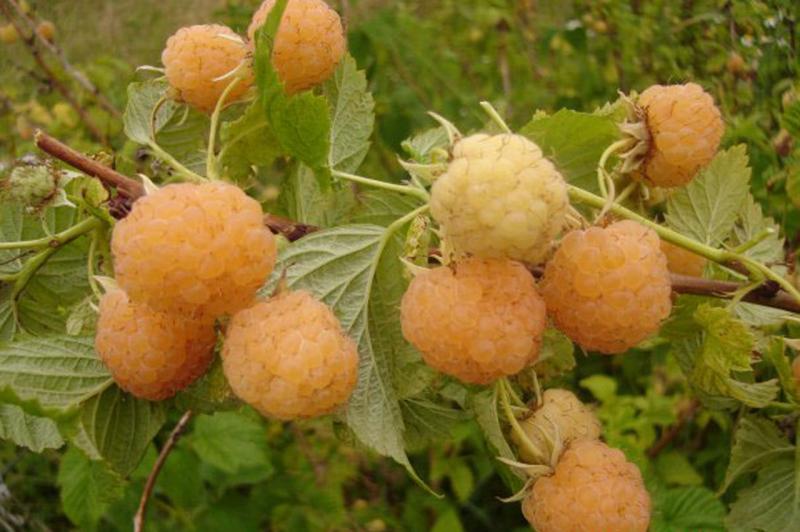 Сорт желтой малины