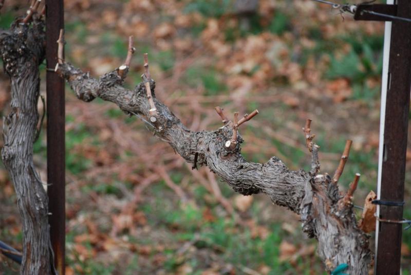 Правила обрезки и формирования винограда для начинающих