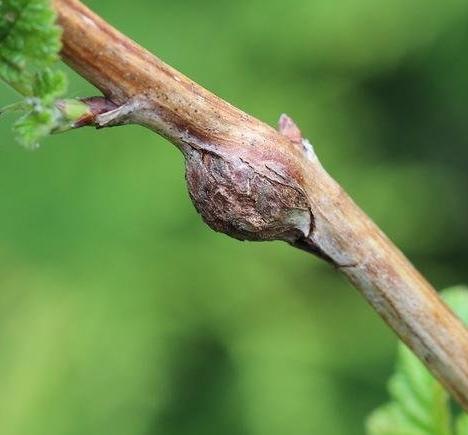 Пересадка малины