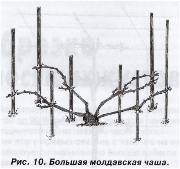 Виноград Молдова - выращиваем в саду самостоятельно