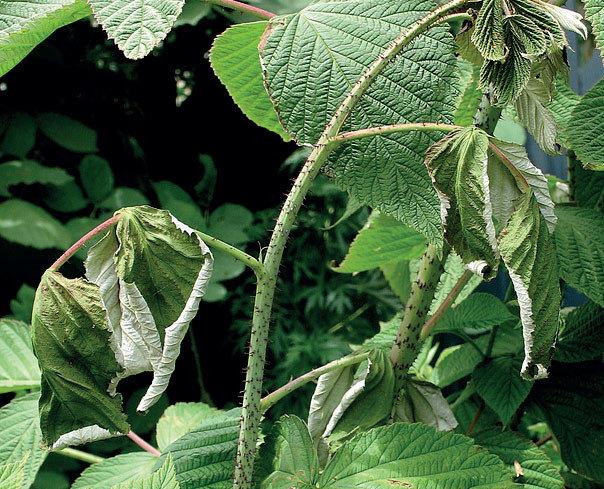 Малина Полька описание и выращивание крупноплодной ягоды