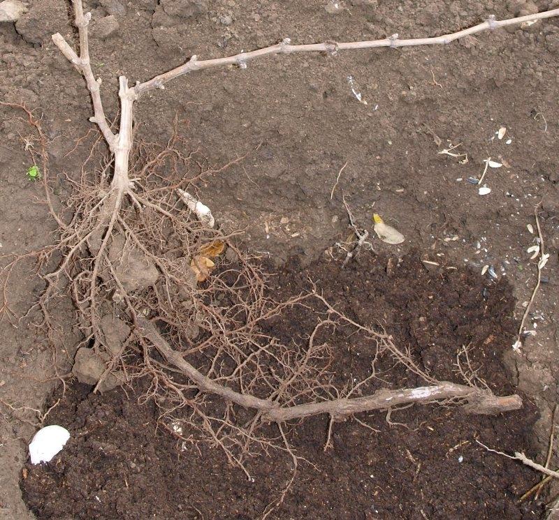Как пересадить виноград осенью кустом