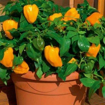 Как и где правильно хранить болгарский перец в домашних условиях