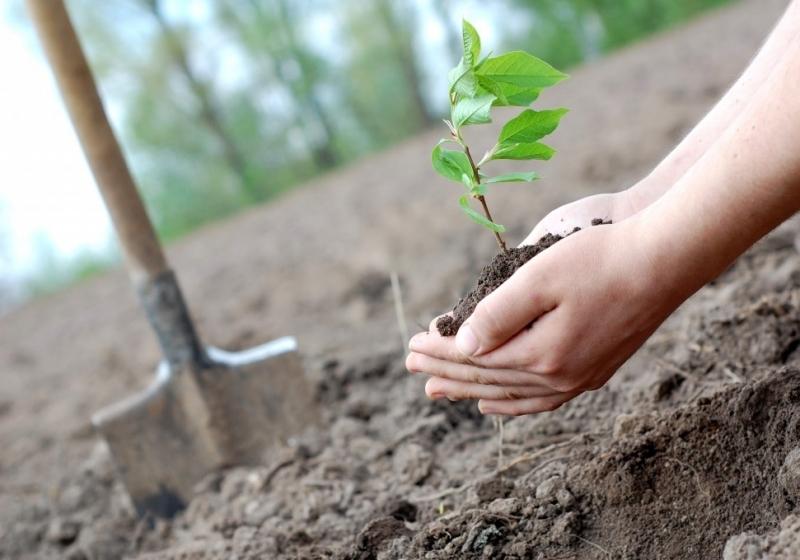 Посадить липу