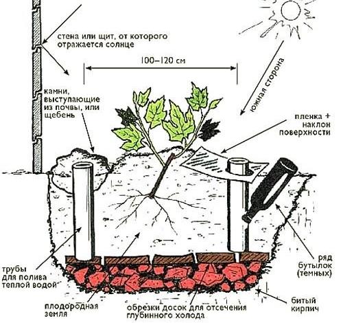 Как посадить виноград осенью дома?