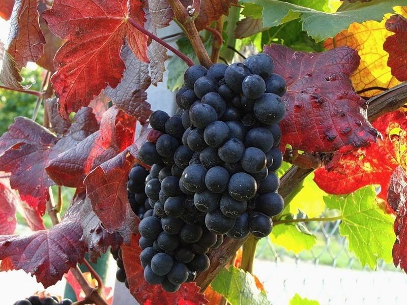 osennie_raboty_v_vinogradnike_1528120407_5b1544574cc07.jpg