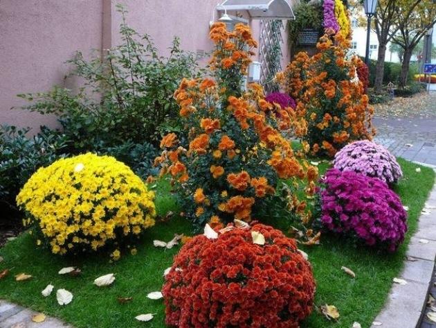 Хризантема в ландшафтном дизайне сада