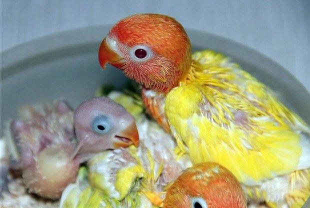 Мускусные утки индоуткиразведение уход содержание чем кормить