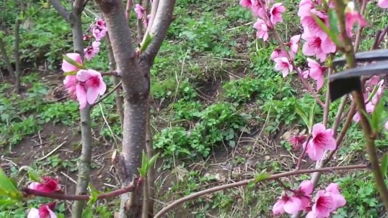 Когда лучше обрезать персик осенью или весной