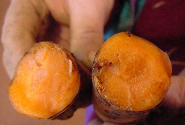 Чем полить морковь от морковной мухи, чем брызгать