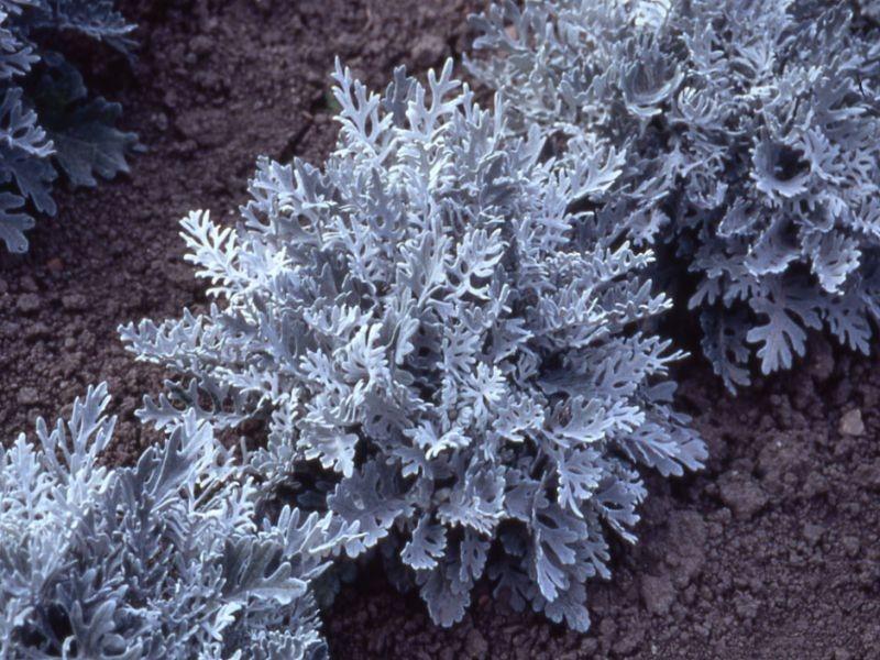 Как собрать семена с цинерарии серебристой