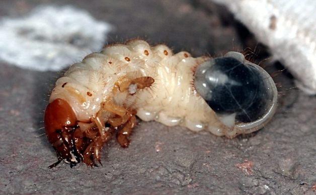 Личинки майского жука - как бороться народными средствами в саду и огороде