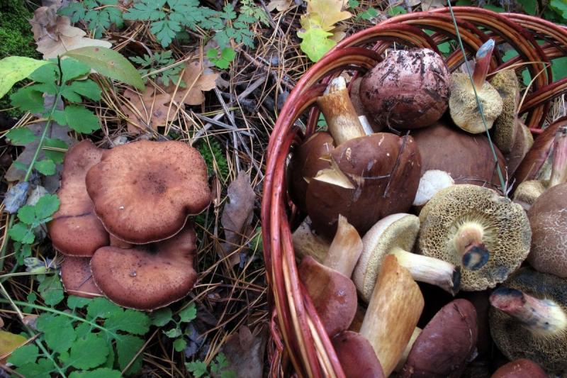 Как отличить съедобные грибы- фото, описания и названия