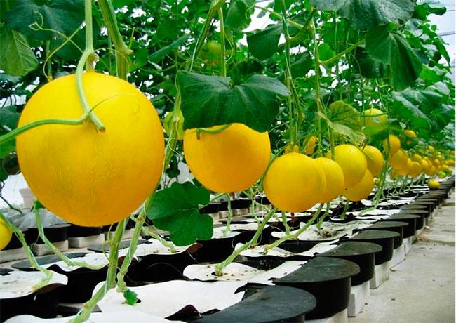 Арбуз - это овощ или фрукт, а может ягода, интересные факты
